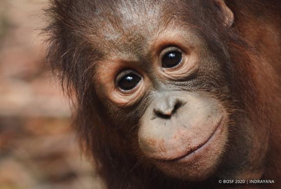 コロナで森に還れない孤児のオランウータンを支援